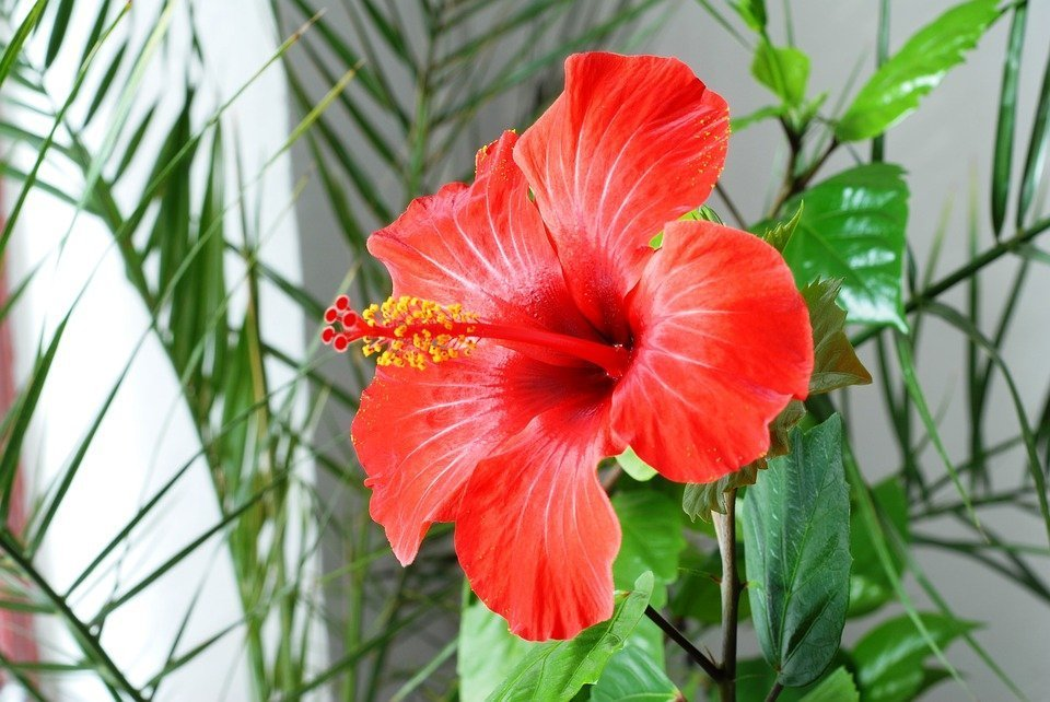 Hibiscus: A Flower for Healing & Magick - Apothecary11