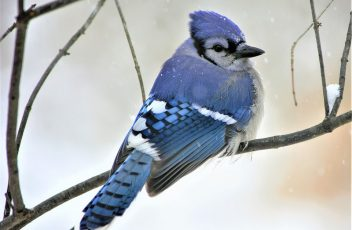 blue jay totems